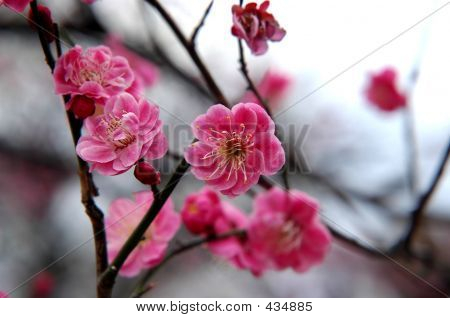 Pink Plum Blossoming In Tokyo