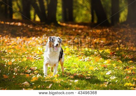 Young Merle Australian Shepherd Portrait In Autumn