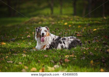 Young Merle Australian Shepherd Relaxing