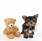 foto of yorkie  - Cute little Yorkie puppy with a teddy bear on a white background - JPG