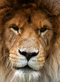 picture of lions-head  - portrait of a lion that looks as if it has been in many fights - JPG