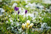 foto of spores  - Flowers growing in snow  - JPG