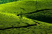 Tea Plantation Landscape. Munnar, Kerala, India