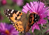 Painted Lady Butterfly On Chrysanthemum