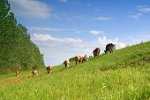 Cows on pasture pic.