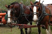 image of clydesdale  - A pair of Clydesdales in harness - JPG