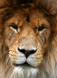 image of lions-head  - portrait of a lion that looks as if it has been in many fights - JPG