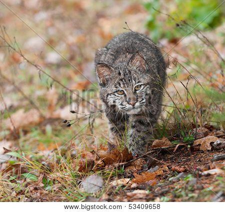 Bobcat (Lynx rufus) Stalk