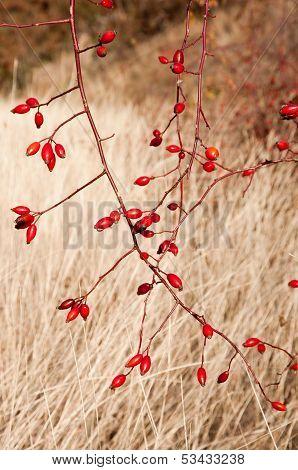 Sweetbriar Rose (rosa Rubiginosa) Hips