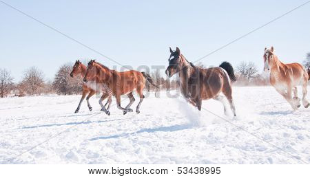 Horses galloping wide open down hill in a snowy winter pasture