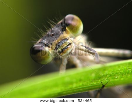 Dragon-fly Close-up