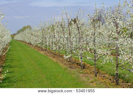 Flowering fruit trees