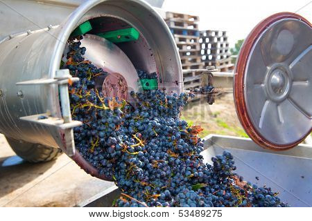 corkscrew crusher destemmer in winemaking with cabernet sauvignon grapes