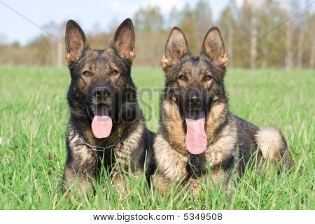 Two German Shepherds Laying In The Grass