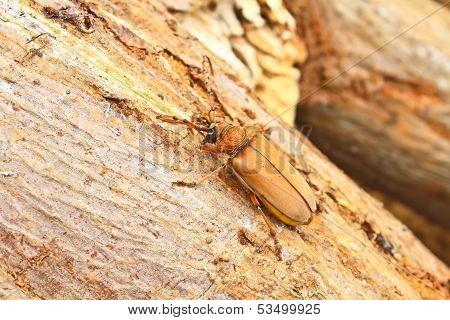 Long Horned Beetle On Tree