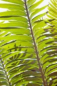 Bright Sunlight Shining On The Leaves Of A Cycad Plant