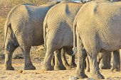 picture of rear-end  - The rear ends of three African Elephant cows - JPG