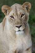 stock photo of lioness  - Potrait of a beautiful lioness with bright amber eyes - JPG