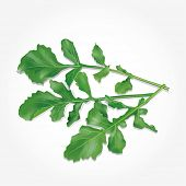 Rucola leaves. Vector illustration.