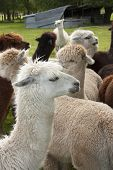 picture of alpaca  - An alpaca at a commercial Alpaca farm - JPG