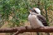 picture of kookaburra  - A curious Kookaburra perched on a branch - JPG
