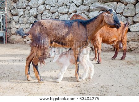 Red-coat Goat Feeding