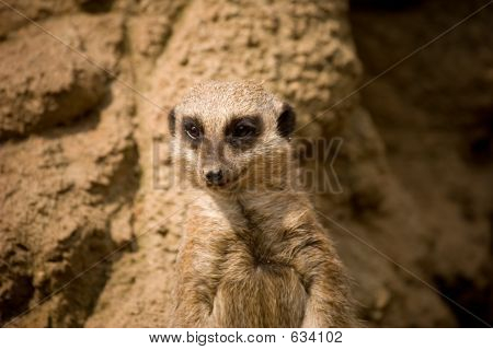 Meercat By Mound