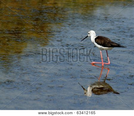 Black-winged Stilt Bird With Tapered Legs Walking