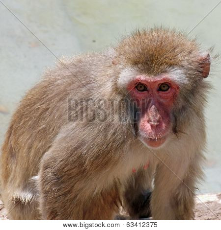 Meaningful Look Of A Macaque Monkey