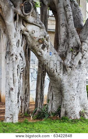 Giant Ficus In The Park. Israel.