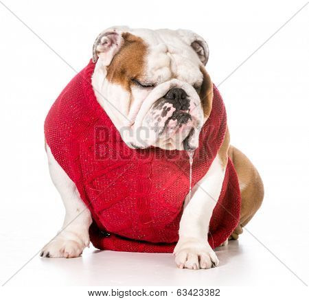dog wearing red sweater with drool dripping out of mouth