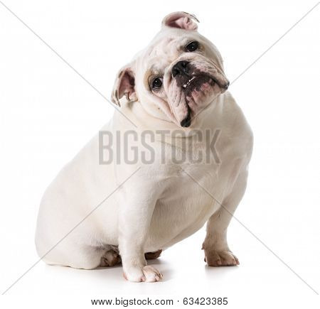 english bulldog sitting with head titled isolated on white background