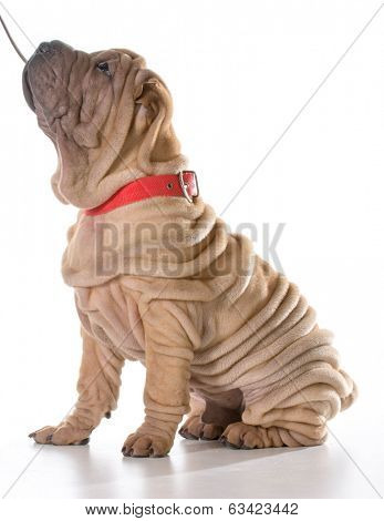 dog training - chinese shar pei sitting with collar and leash on isolated on white background