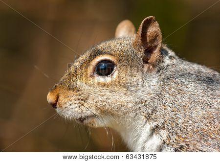 Grey Squirrel ( Sciurus Carolinensis)