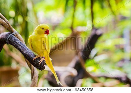 Yellow Ringnecked Parakeet (psittacula Krameri).