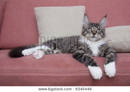 Cat Maine Coon Lying On Sofa