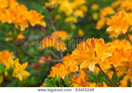 Blooming Japanese Azalea In Springtime