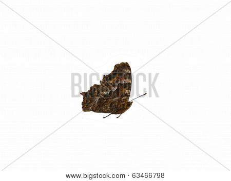 Brown Butterfly (type Vanessa) Isolated