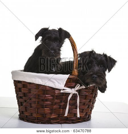 Two black miniature schnauzer puppies.