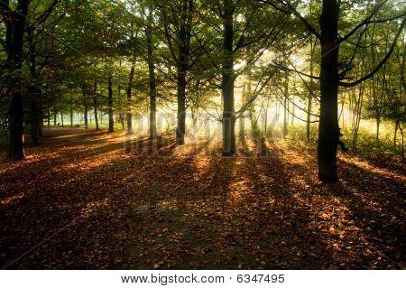 Sunrays Through Beech Trees In Autumn