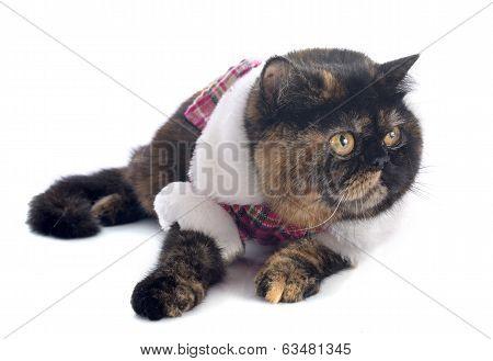 Dressed Exotic Shorthair Cat