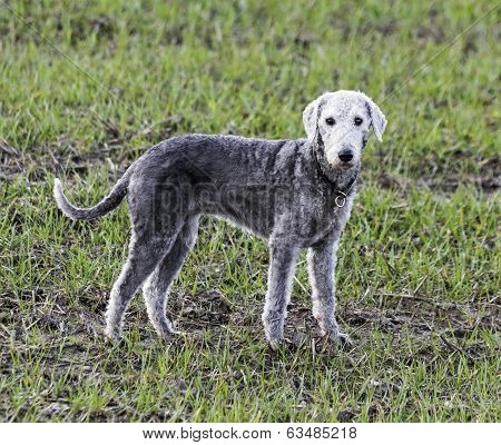Bedlington Terrier Standing In A Field