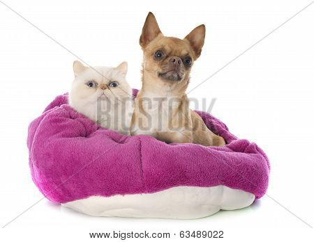 Exotic Shorthair Cat And Chihuahua