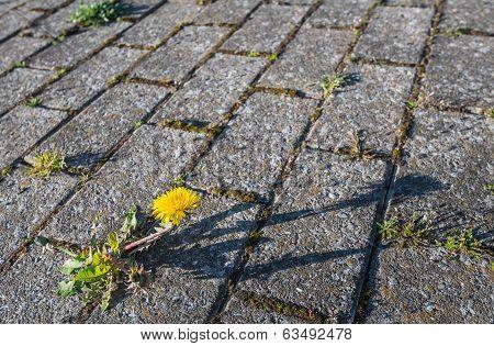Dandelions Grow Between Concrete Pavement