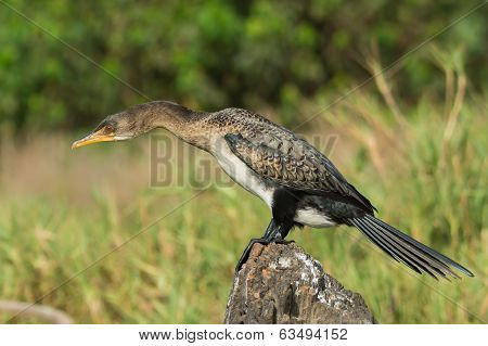 Long-tailed Cormorant With Its Neck Stretched Out