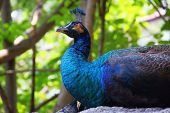 stock photo of peahen  - peacock close up in Chiang Mai of Thailand - JPG