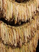 picture of tobacco barn  - Dry tobacco leaf under the eaves on the open air - JPG