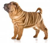 pic of shar-pei puppy  - chinese shar pei puppy standing with tongue out isolated on white background  - JPG