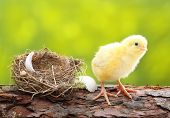 Cute little chicken and nest