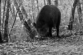 stock photo of razorback  - black and white Wild boar foraging in forest Poland - JPG